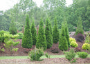 Thuja occidentalis North Pole Arborvitae