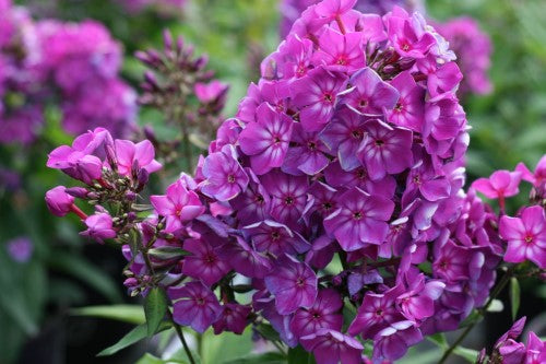 PHLOX  -  GRAPE LOLLIPOP™ CANDY STORE™ Garden Phlox