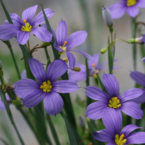 Sisyrinchium Blue-Eyed Grass Lucerne