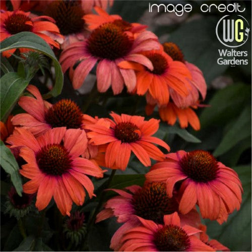 Echinacea - 'Tanager' Eye-Catcher™ Coneflower