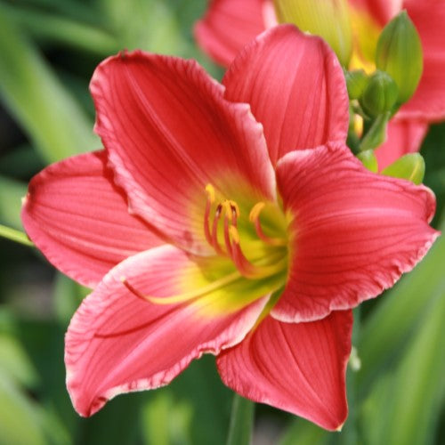Hemerocallis Red Hot Returns