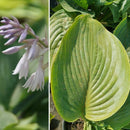 Hosta - 'Empress Wu' Shadowland®