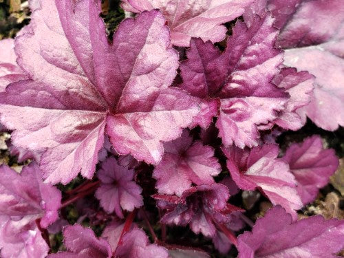 HEUCHERA  -  'Wildberry' DOLCE® Coral Bells