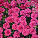 Dianthus - 'Double Bubble' Pretty Poppers® Pinks
