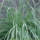 Erianthus - Hardy Pampas Plume Grass