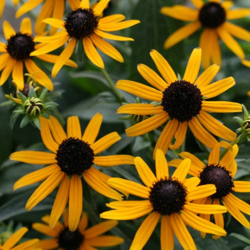 Rudbeckia 'Little Goldstar' Black Eyed Susan