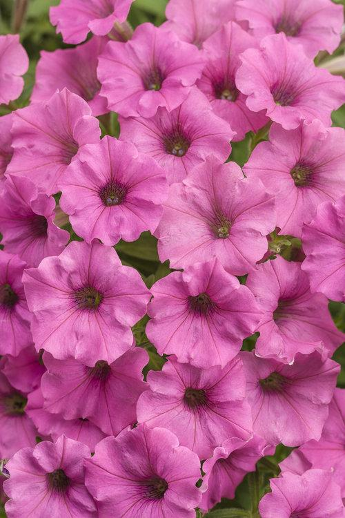 Petunia - Supertunia Mini Vista 'Hot Pink'