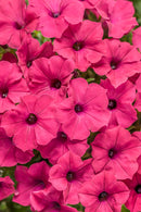 Petunia Supertunia Vista