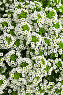 Lobularia White Knight