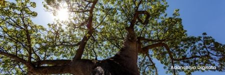 Baobab (fortificante)