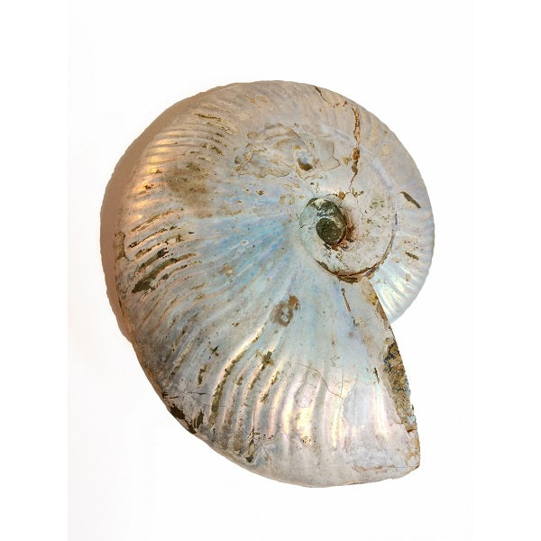 Pearlized Ammonite Fossil for transformation & growth - Body Mind & Soul