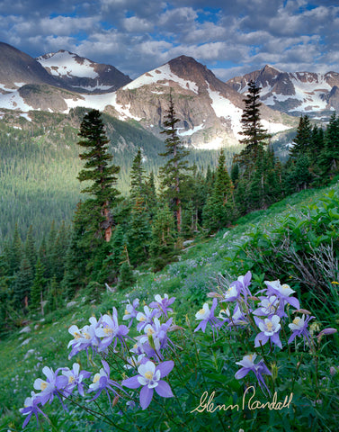 Columbine along the Trail to Arapaho Pass Metal Print
