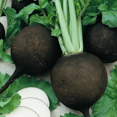 Black Radish - bunch (Spicy!)