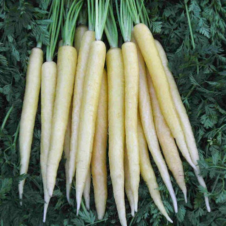 Carrots White - Bunch
