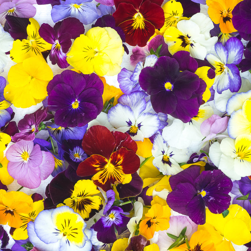 Petit Bouche Flowers - Mixed Viola