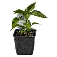 Potted Plant, Purple Bell Pepper 4 Pack