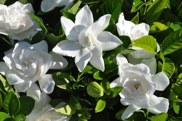 How to take care of your... Gardenia Jasminoides (Cape Jasmine)