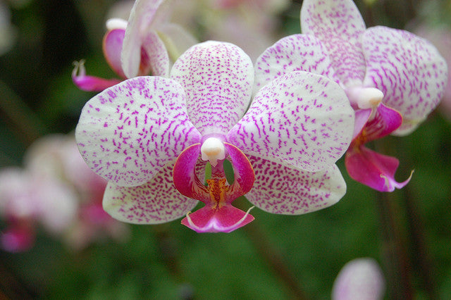 How to care for your...Moth Orchid (Phalaenopsis)