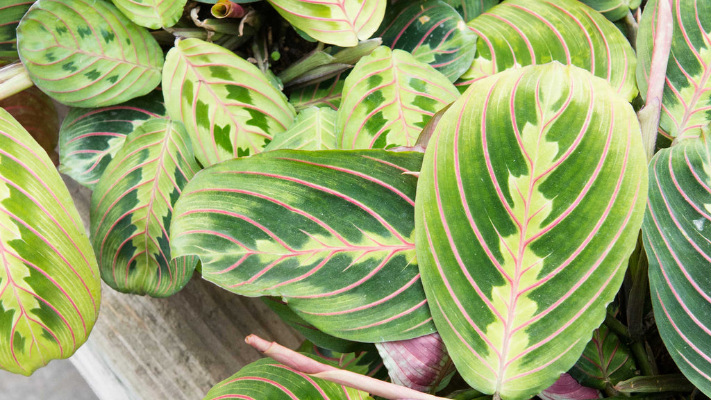 How to care for your...Prayer Plant