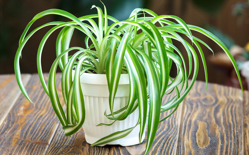 How to care for your...Spider Plant