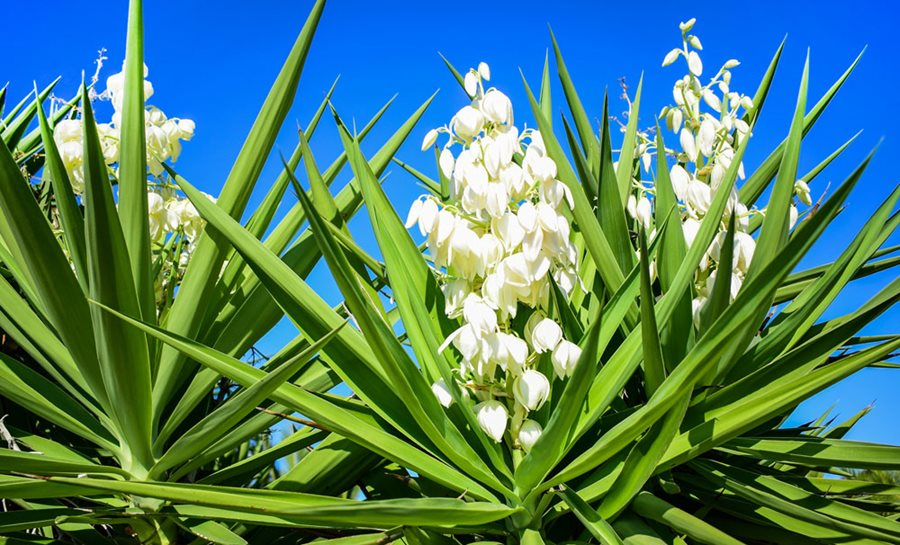 How to care for... Yucca plants