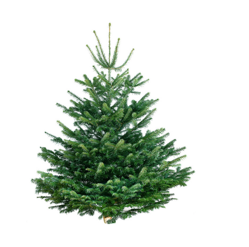 Real Christmas Tree 175-200 cm