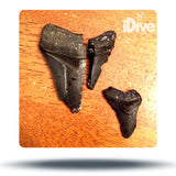 Shark Tooth Dive