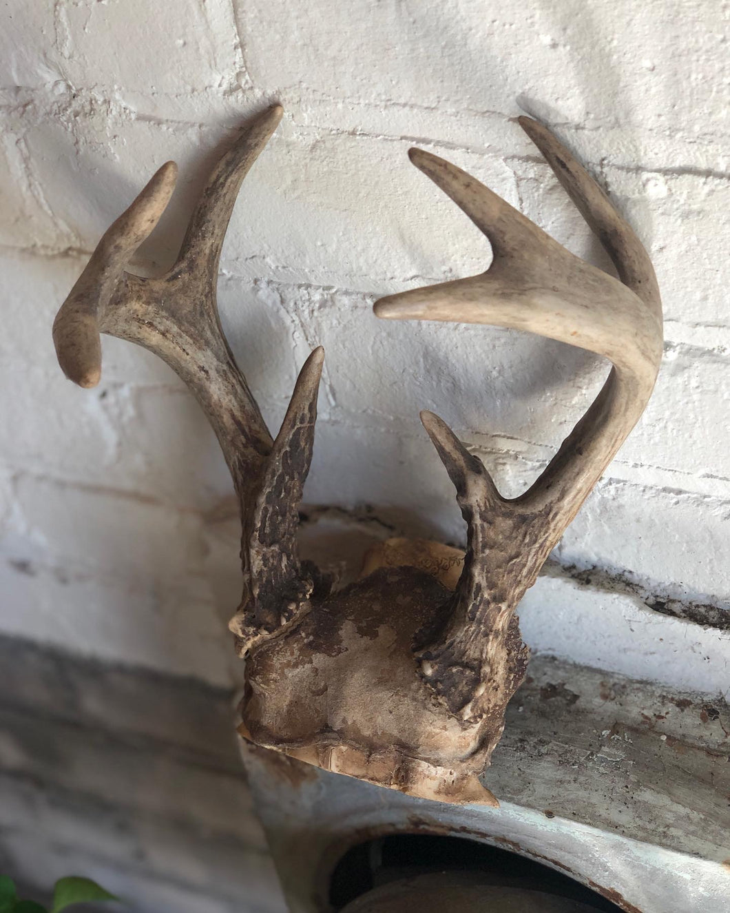 Medium-Sized Antlers