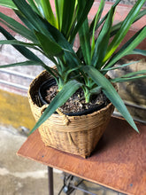 Load image into Gallery viewer, Yucca-like Plant w/ Basket