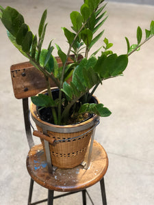 ZZ Plant w/ Basket Bucket