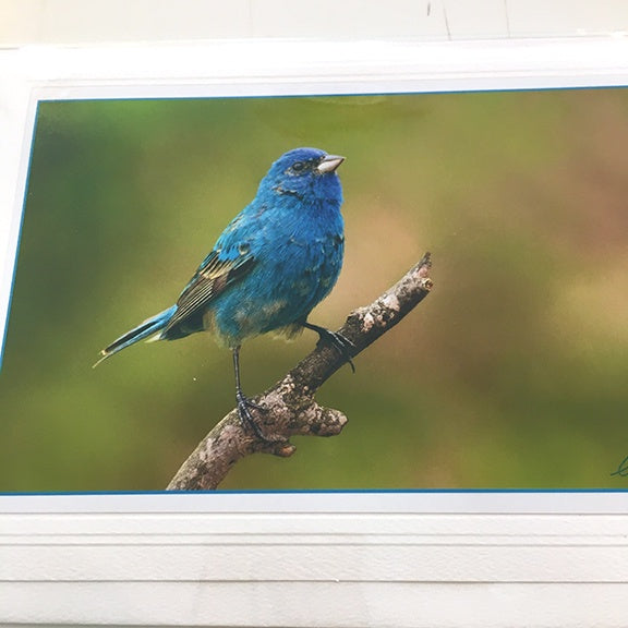 Art Card Male Indigo Bunting