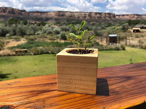 Mimosa Sprigbox growing in beautiful landscape