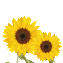 Load image into Gallery viewer, Grow Kit - Sunflower