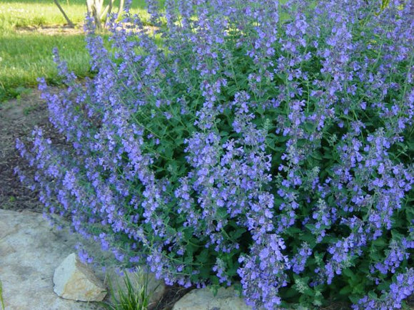 Catmint - Nepeta Walkers Low