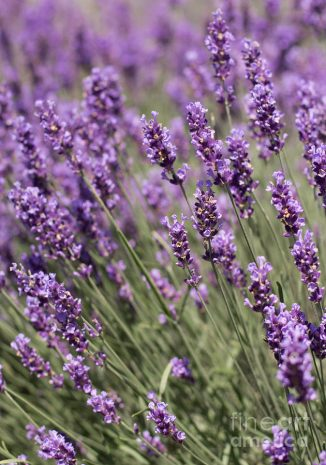 Lavender-French