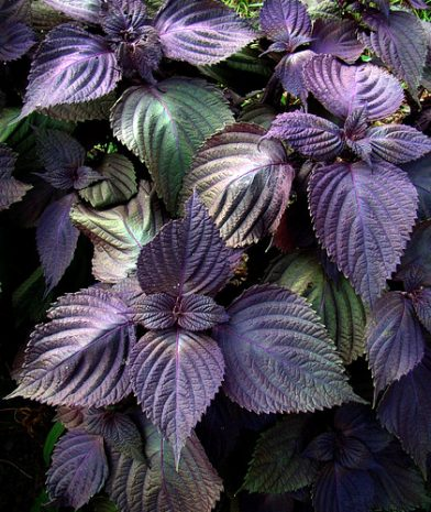 Shiso - Purple