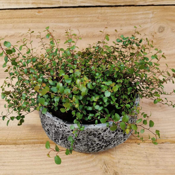 Meulenbeckia in pot