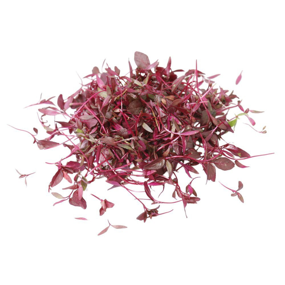 Micro Red Amaranth - Capital Wholesalers