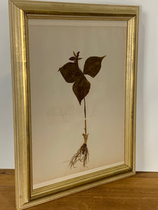 Framed Antique Botanical