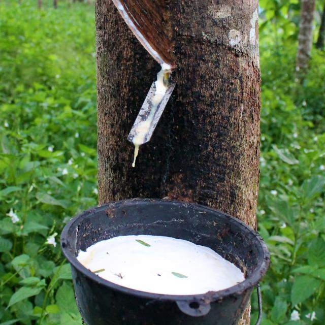 Latex Sap is collected from the Hevea Brasiliensis, rubber tree.