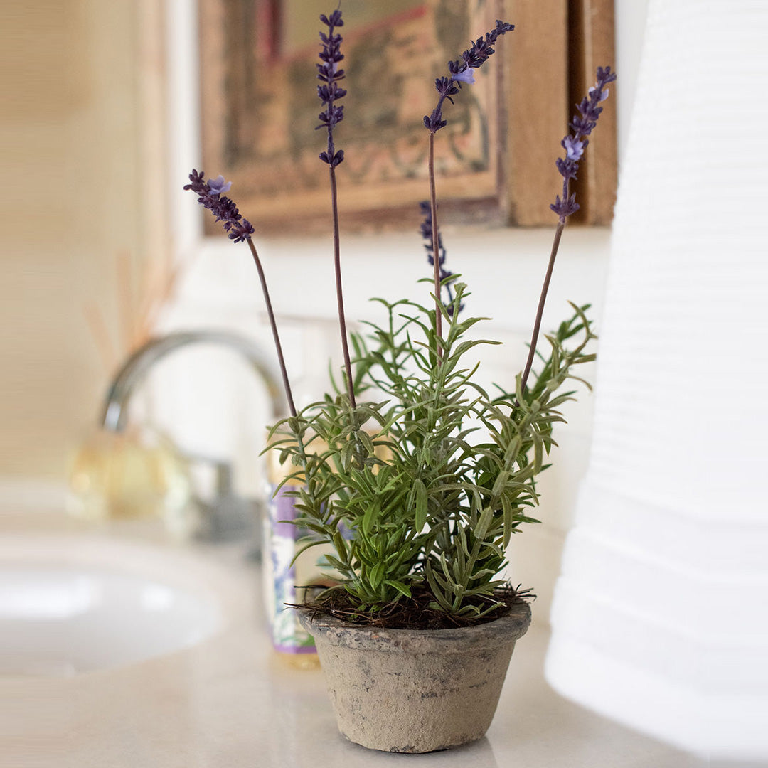 French Lavender Potted