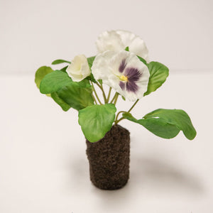 Pansy Plant in Cream/Purple