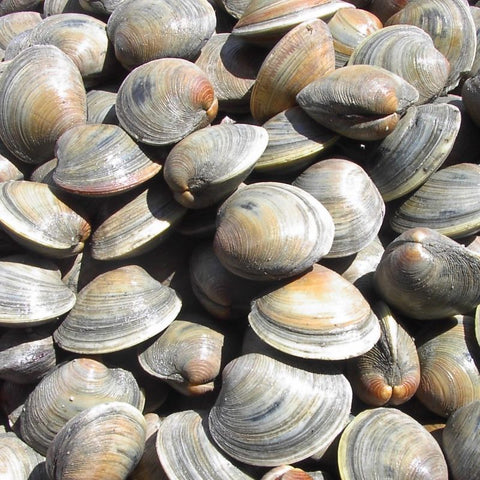 CLAM LITTLE NECK FRESH 50 count