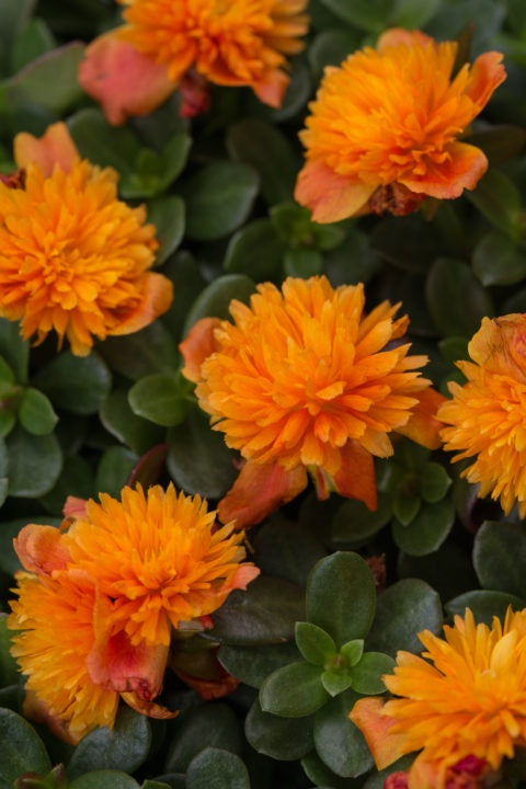 Portulaca Colorblast, Double Orange - 4