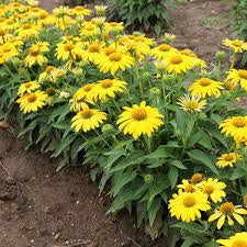 Cone Flower, Echinacea, Sombrero Yellow Improved, 1 gal