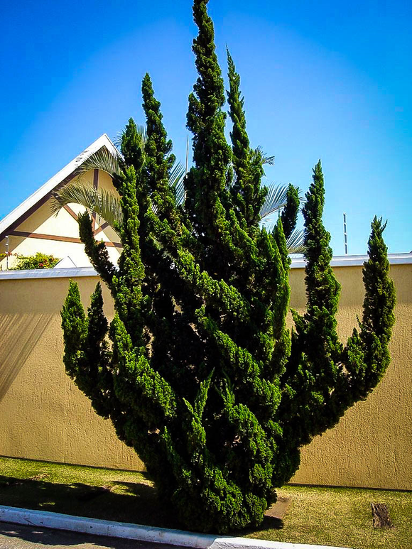 Hollywood Juniper (Juniperus chinensis) 'Torulosa' (B&B)