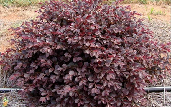 Loropetalum 'Crimson Fire' 3gal PN