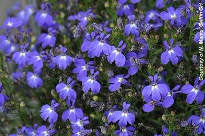 Lobelia, Techno Dark Blue - 4