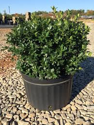 Green Luster Holly, 3 gal