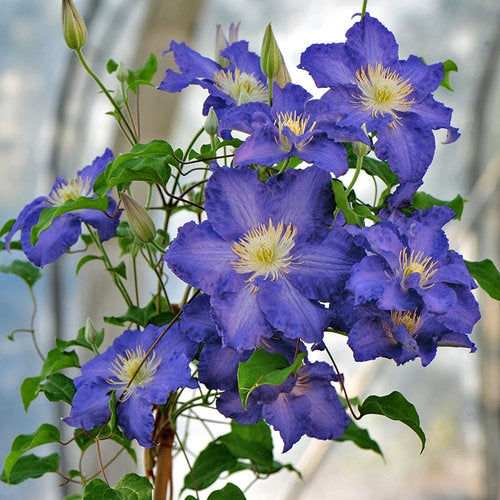 Clematis, Brother Stefan (2g)